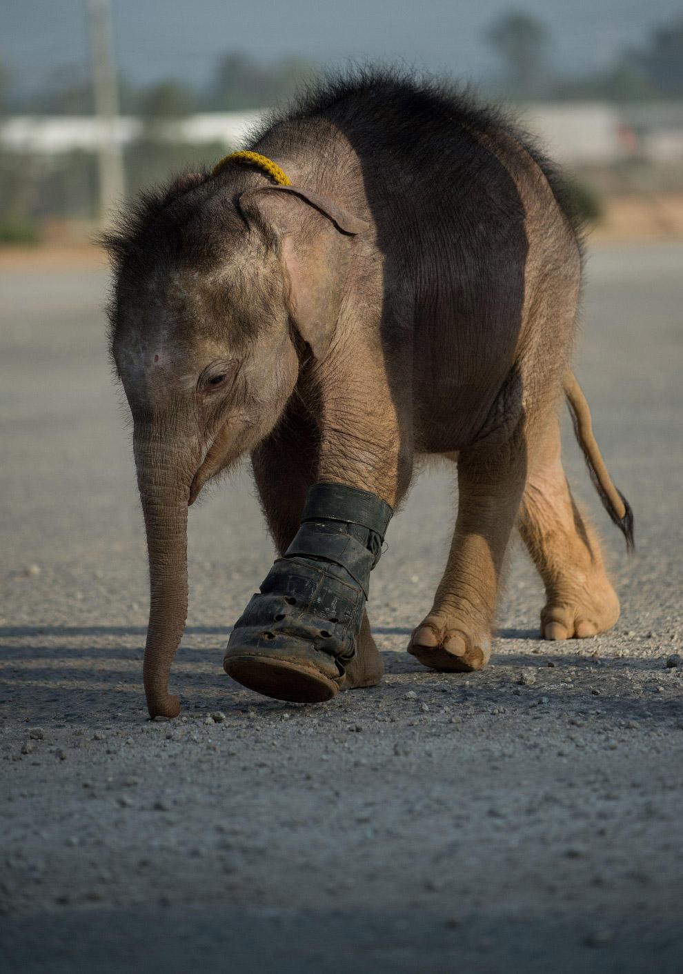 Пострадавший от капкана слоненок шагает с надеждой на хорошее будущее