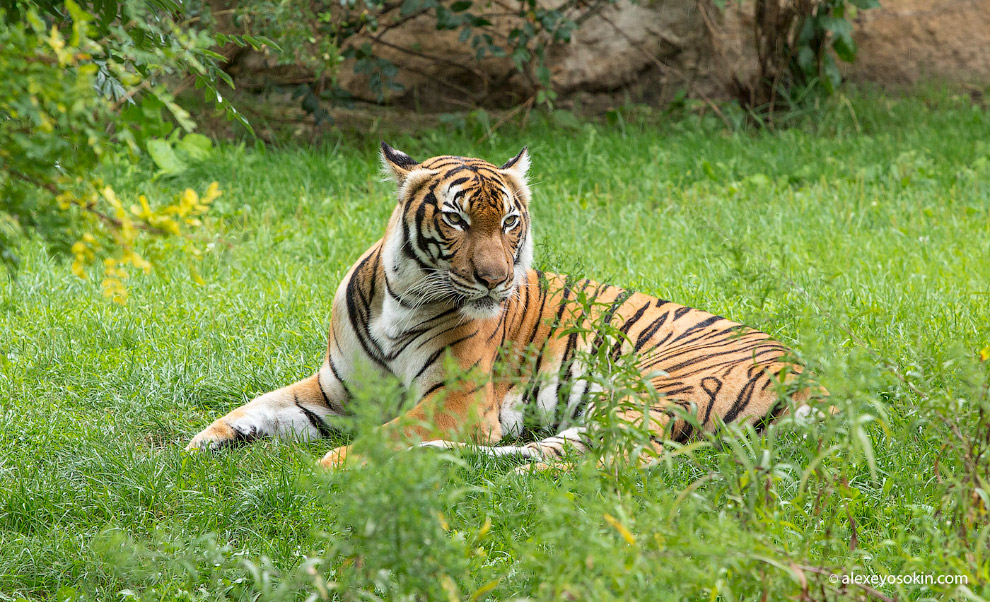 Суматранский тигр (Panthera tigris sumatrae)