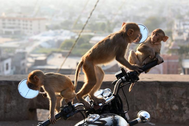 Макаки-мотоциклисты, Раджастхан, Индия