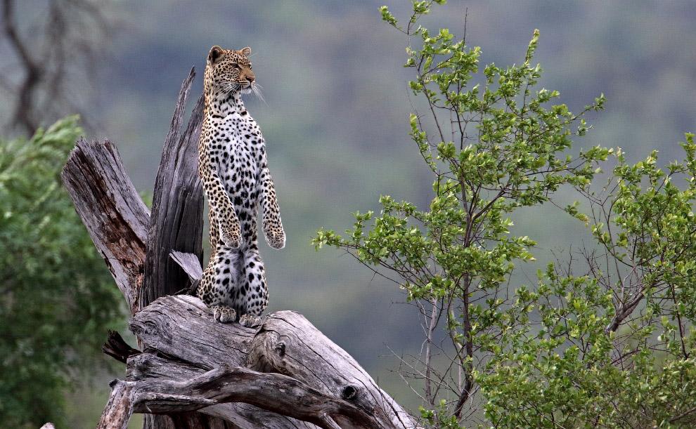 Леопард осматривает окрестности в необычной позе в национальном парке Крюгера, Южная Африка