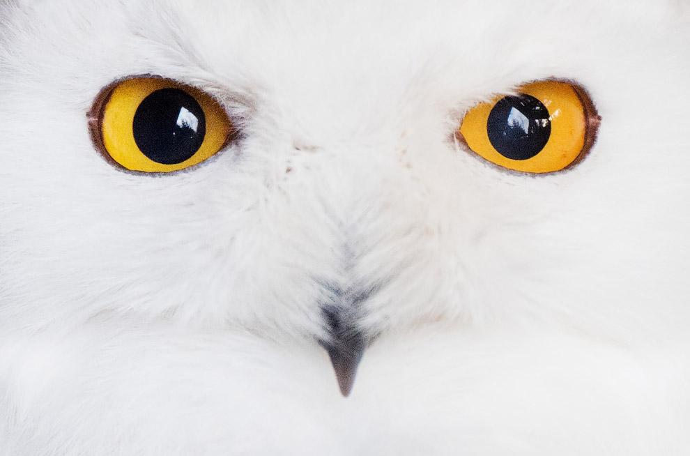 совиный глаз