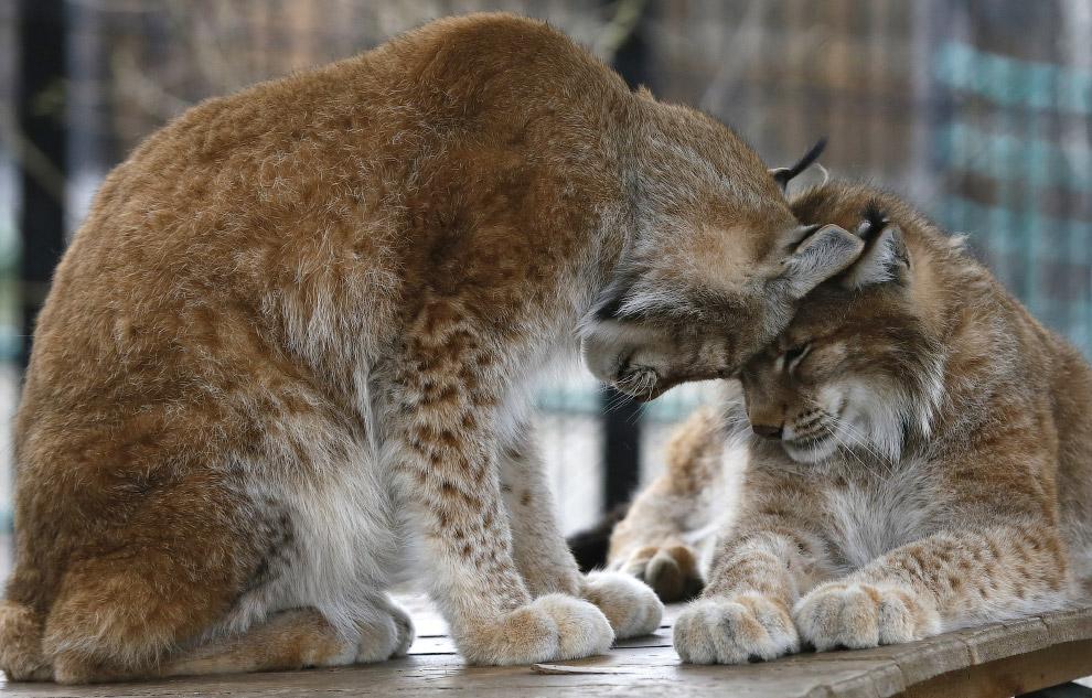 Рыси в зоопарке «Роев Ручей» в Красноярске