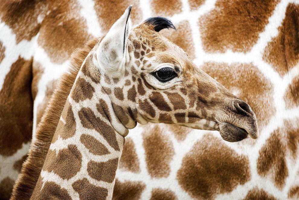Новорожденный жираф на фоне своих родителей