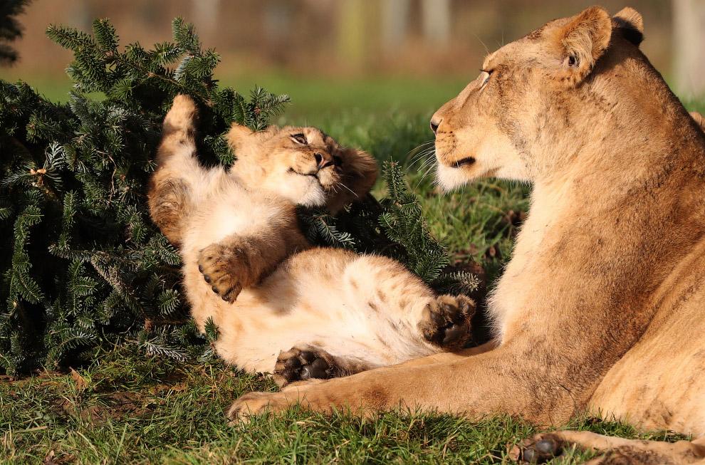Львиная семья в зоопарке в Стерлинге, Великобритания