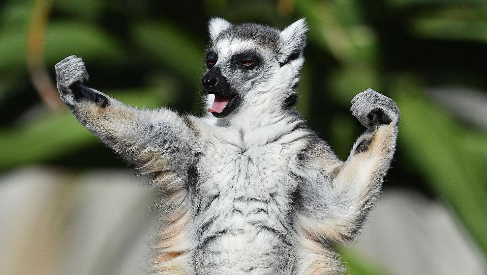 Лемур-каратист в зоопарке в Мельбурне