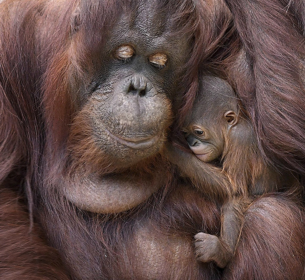 Семья орангутангов в зоопарке в Брукфилде, США