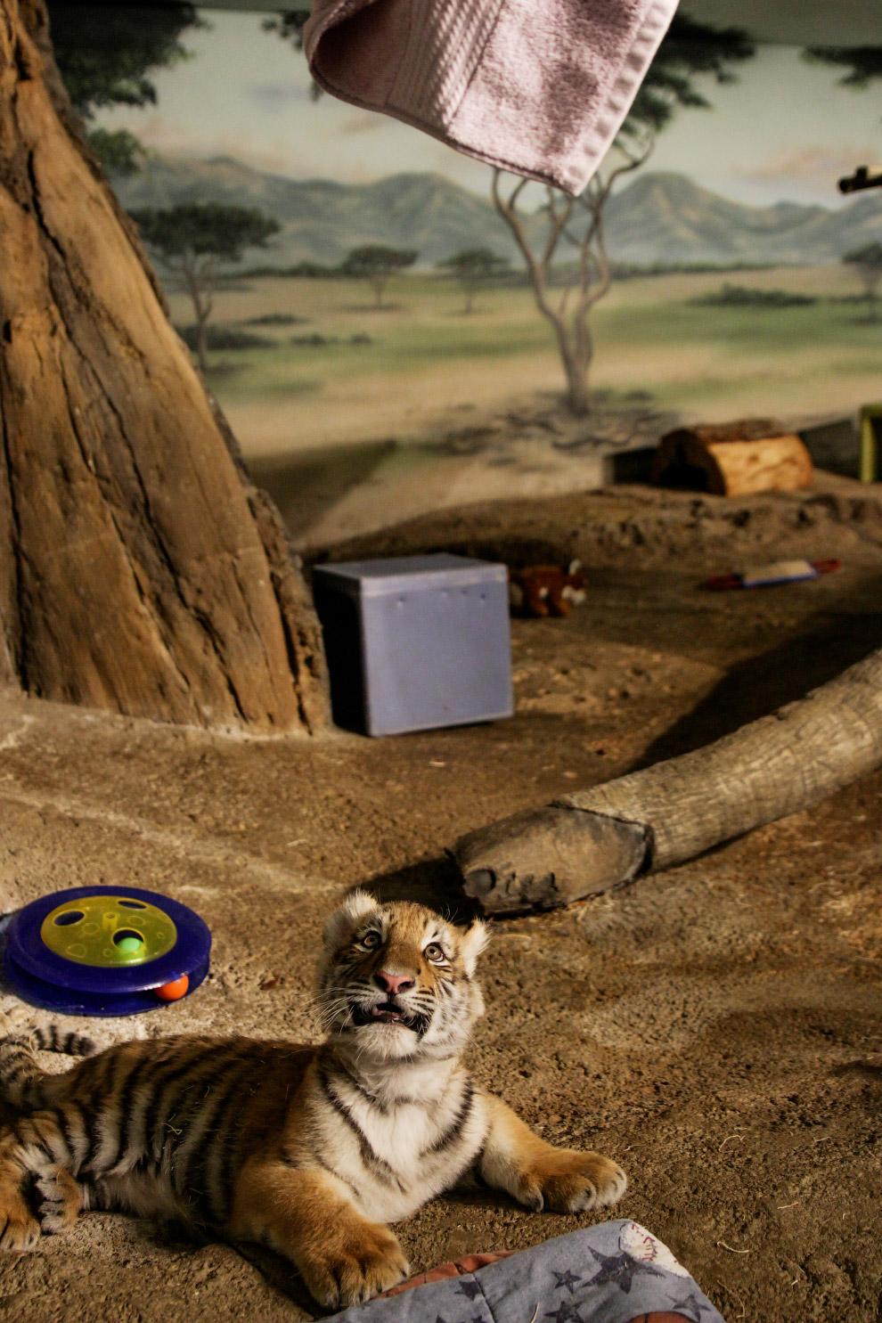 Амурский тигренок в зоопарке в Милуоки, США
