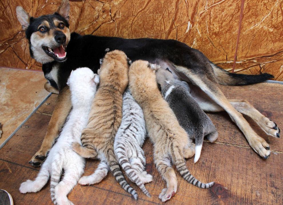 Собка выкармливает 4 новорожденных тигрят в центре защиты диких животных провинция Шаньдун, Китай