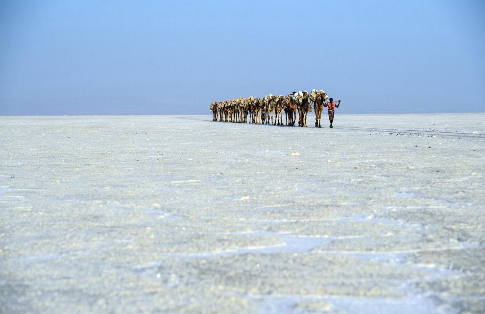 Добыча соли в Данакильской низменности и верблюжий караван