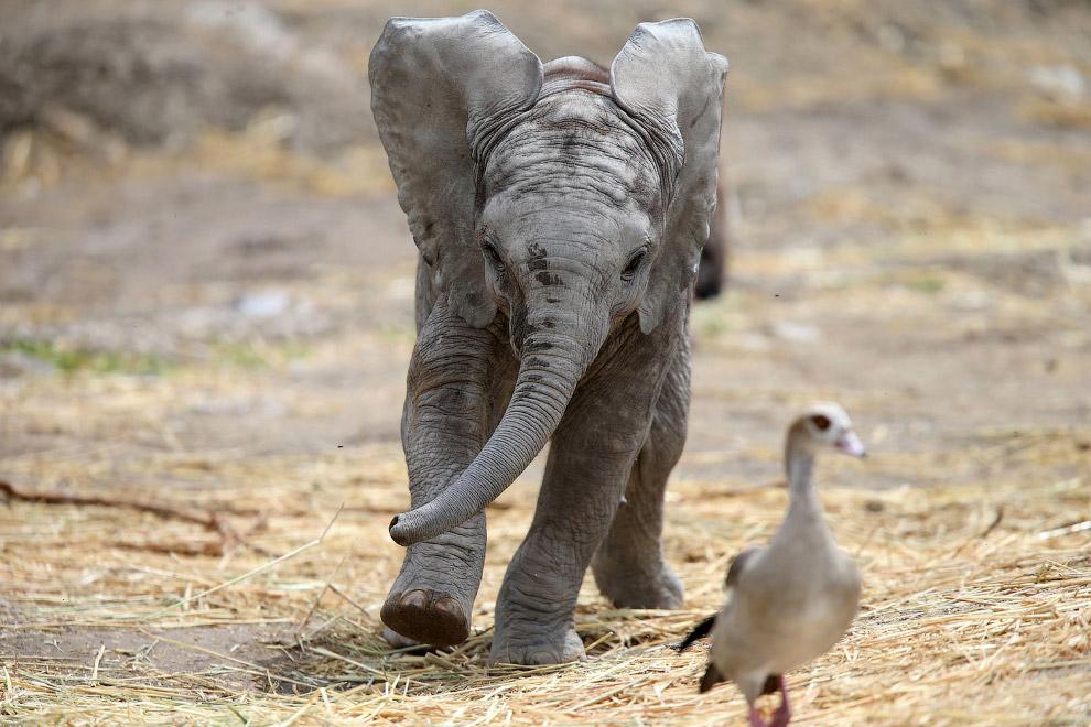2-месячный слоненок возомнил себя хищником и начал гоняться за птицей