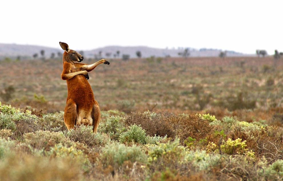 Кунг-фу кенгуру