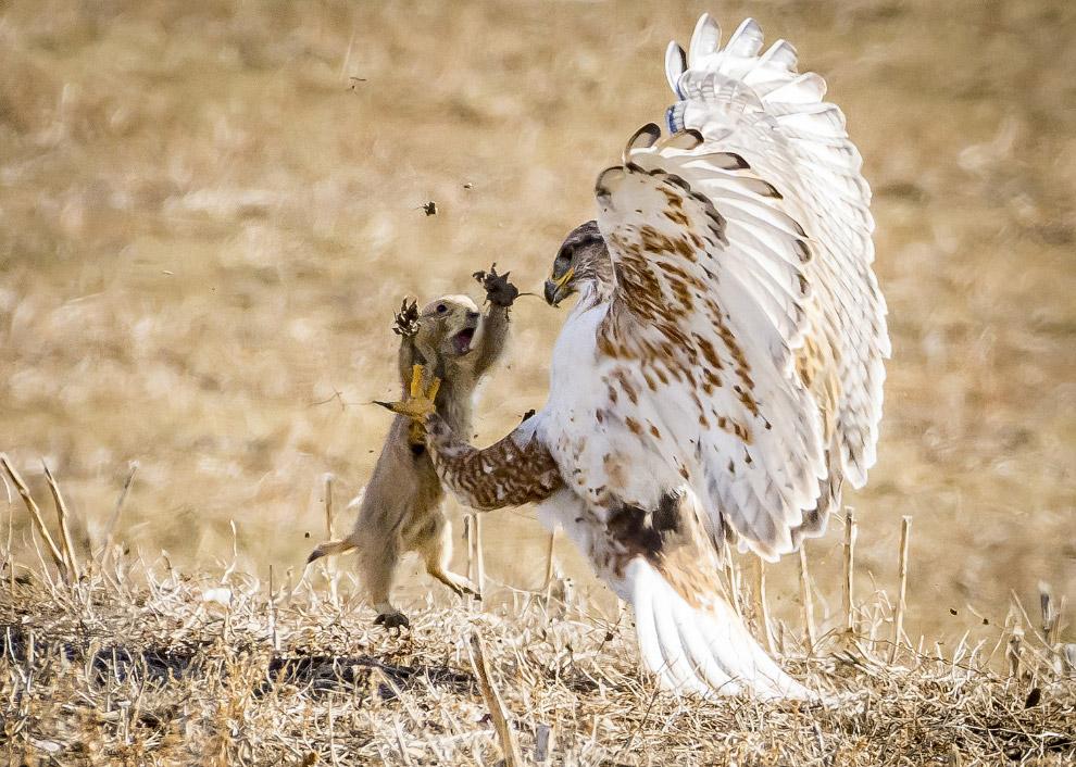 Ястреб нападает на луговую собачку