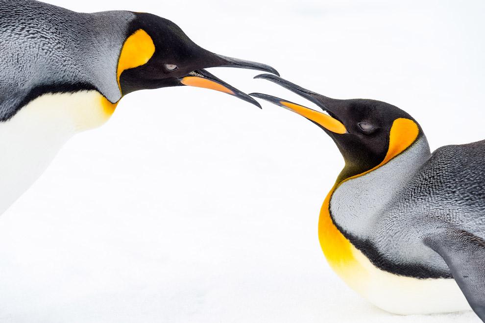 Королевские пингвины, Южная Георгия