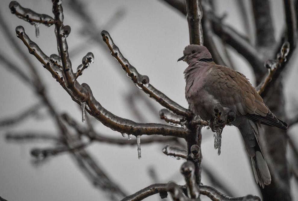 Птичка и ледяные ветки в Бухаресте, Румыния