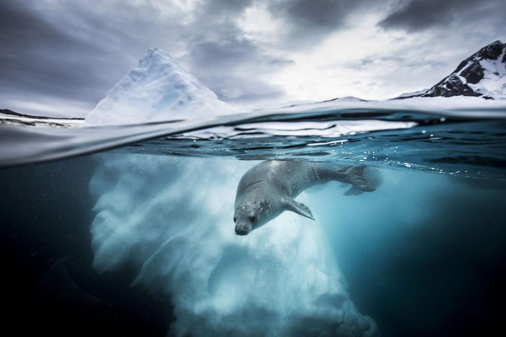 Тюлень в Антарктике