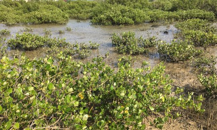 澎湖(ポンフー)最大のマングローブ林がある青螺湿地は生き物の宝庫