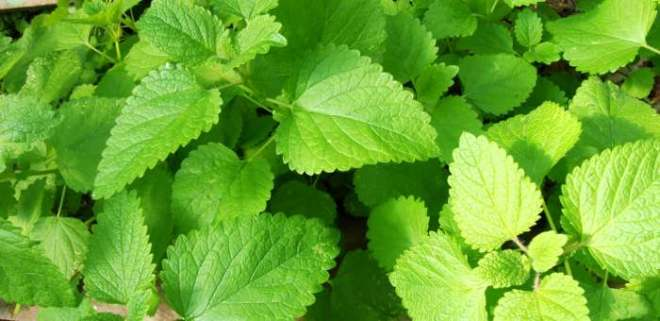 Calming Melissa: How to use lovely lemon balm