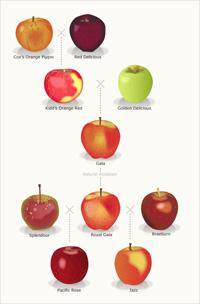 Apple Whakapapa