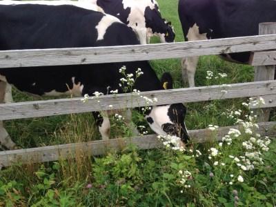 みるくの里の牛