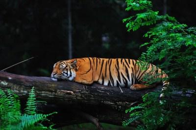 夜の動物園 眠る虎