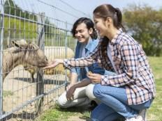 動物園デート ヤギに餌を与えるカップル