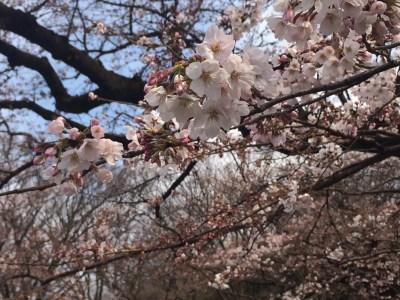 春の代々木公園 満開の桜