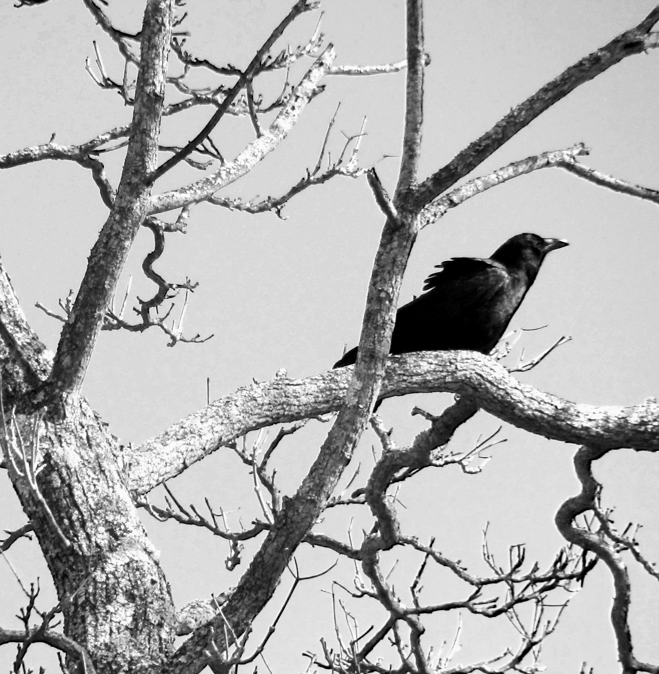 Image result for crow and tree