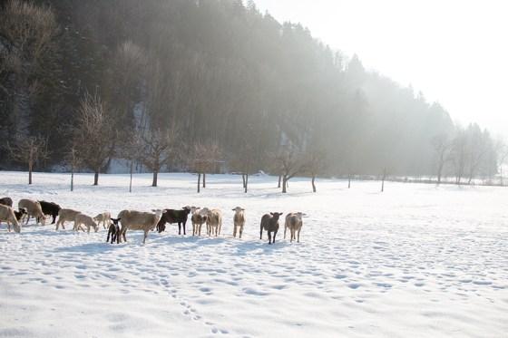 De schapen met op de achtergrond een lekker koud en winters zonnetje