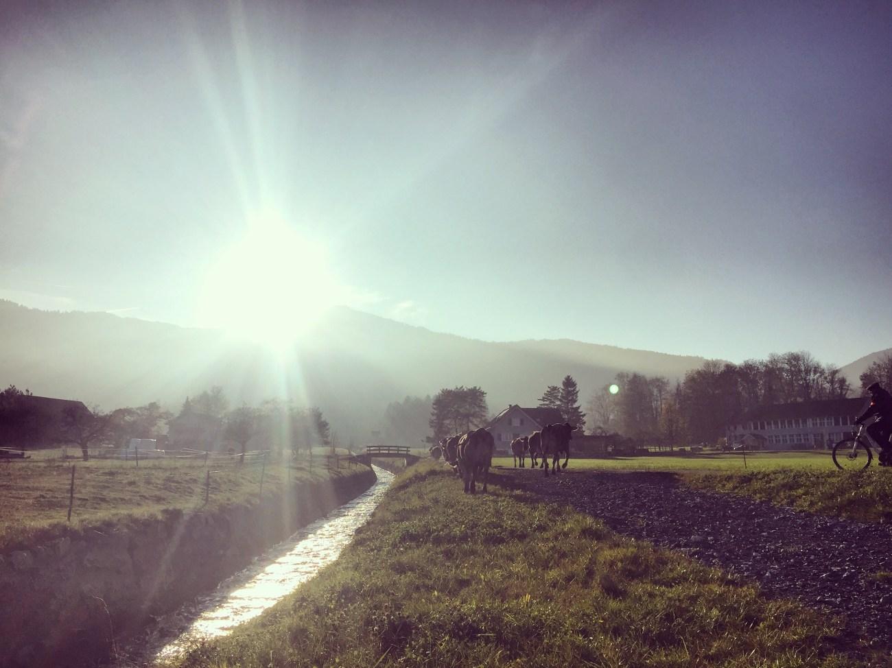 De boer kwam alleen aangefietst en haalde zijn vee van het land. Dat vonden we wel erg leuk.