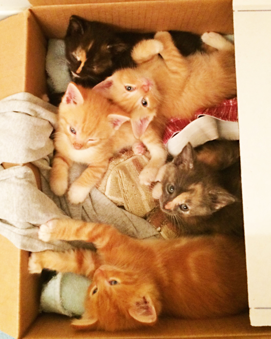 A box with 5 visible kittens including two calicos and three orange tabby kittens.