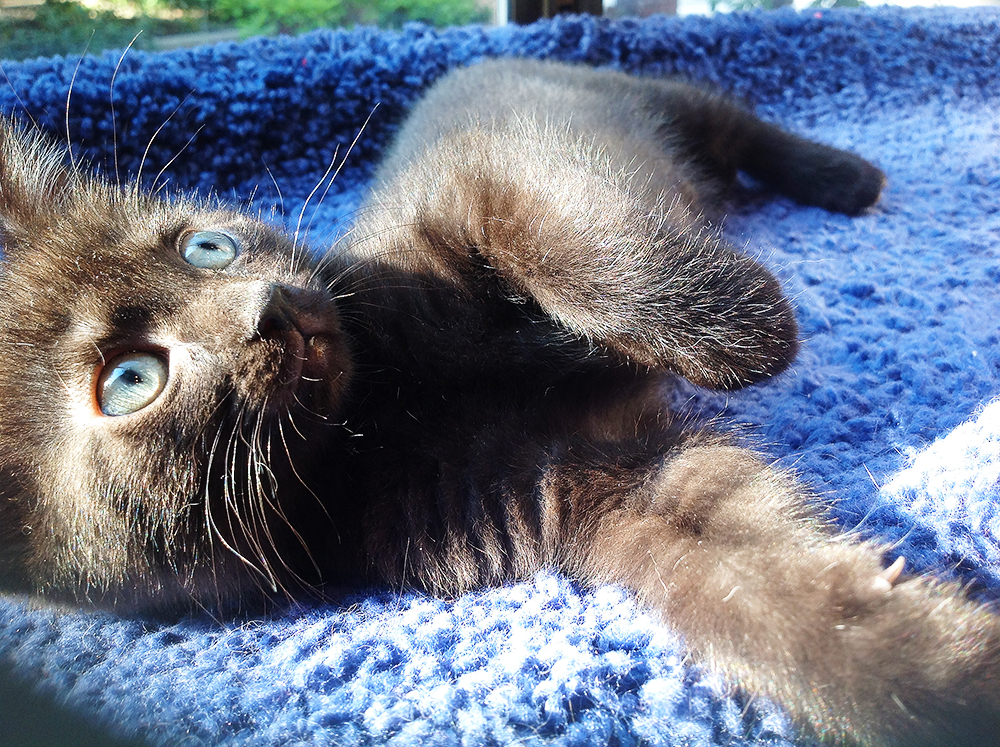 Find foster kittens like Tumbleweed waiting in an animal shelter near you!