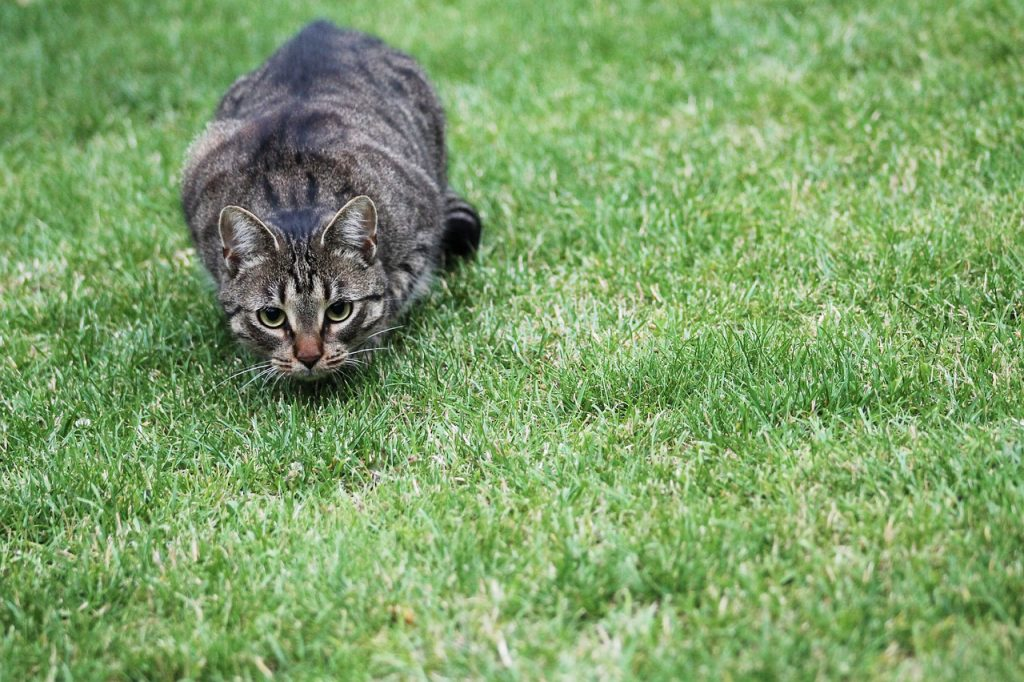 A brown tabby cat hunting on grass
