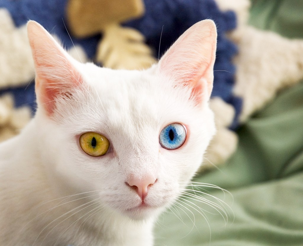A headshot of a white cat with two differently colored eyes (one yellow, one blue) looking directly at the camera