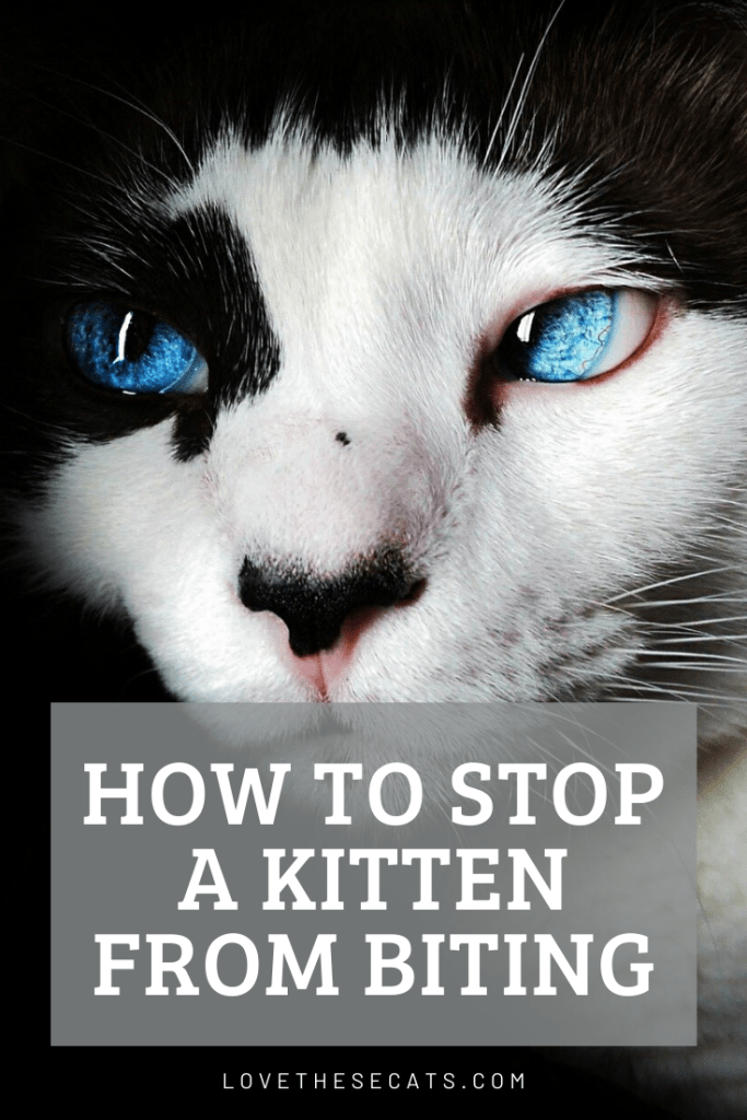 """A close up of a black and white kitty with vibrant blue eyes and the caption """"How To Stop a Kitten Biting""""."""