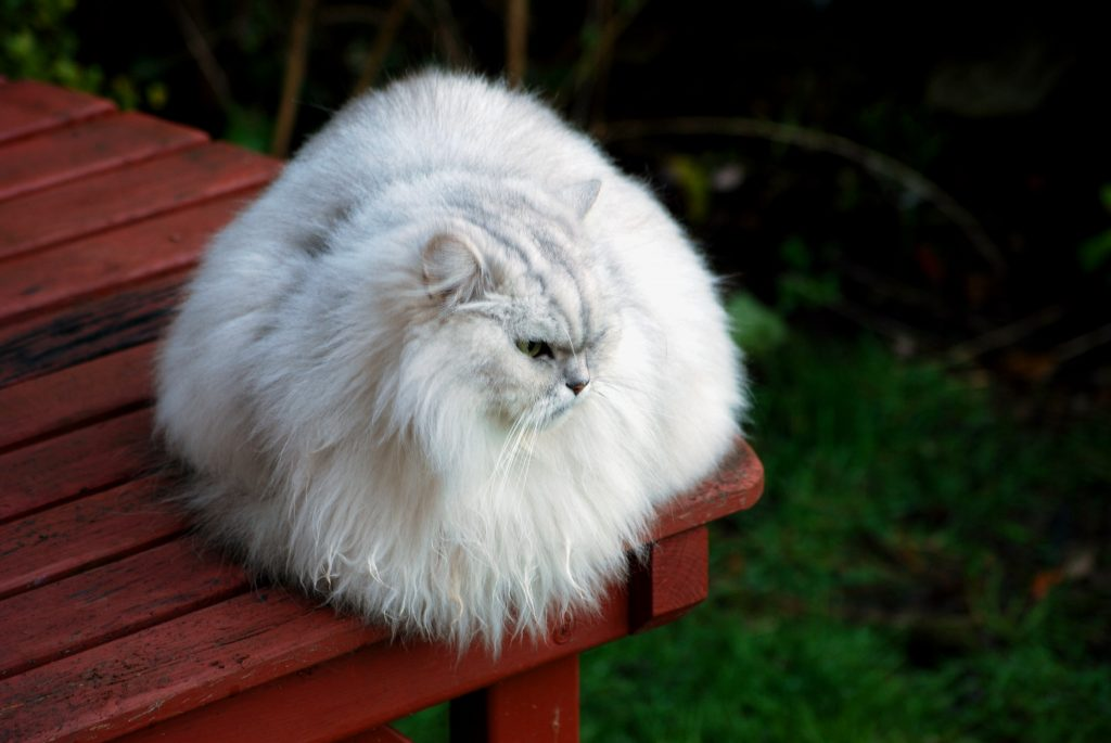 A white tipped-fur cat sitting on red decking.