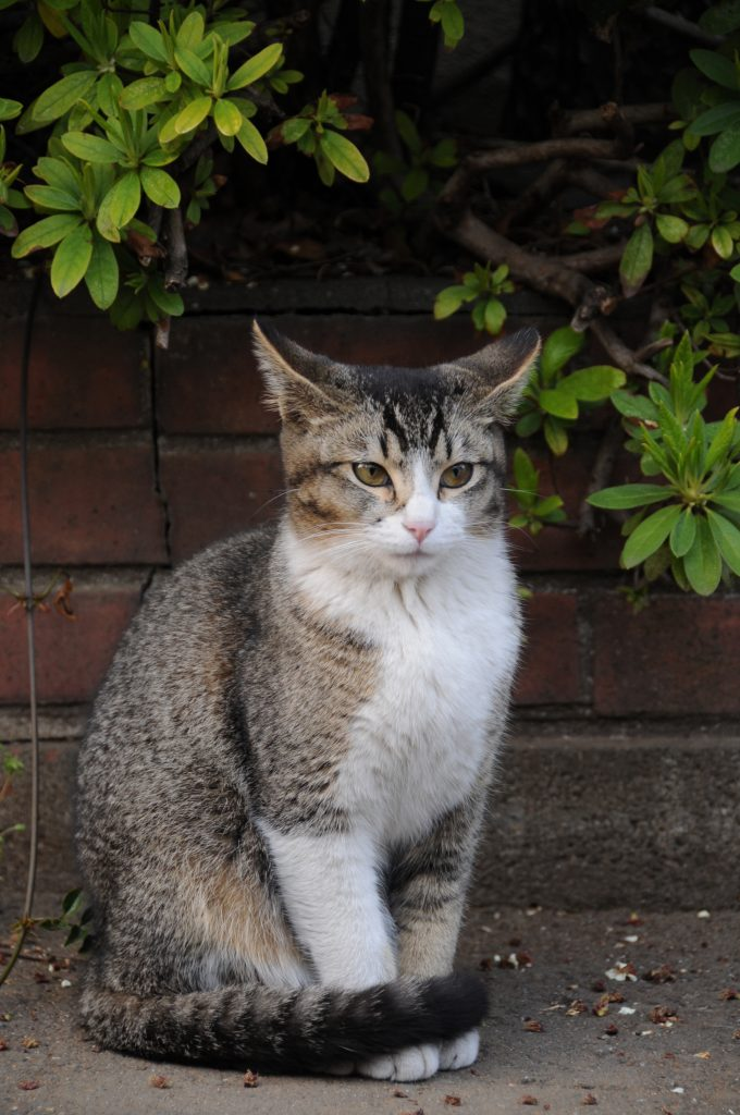 This ticked tabby has a coat pattern with nearly evenly mixed dark and light fur. Tabby markings are present on her face, and stripes are visible on the tail and legs.