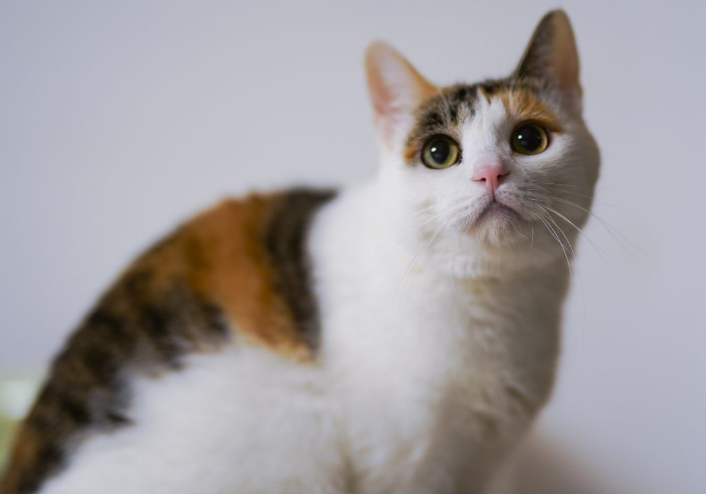 This calico cat has orange and black fur on her back, and white fur on her face and tummy.