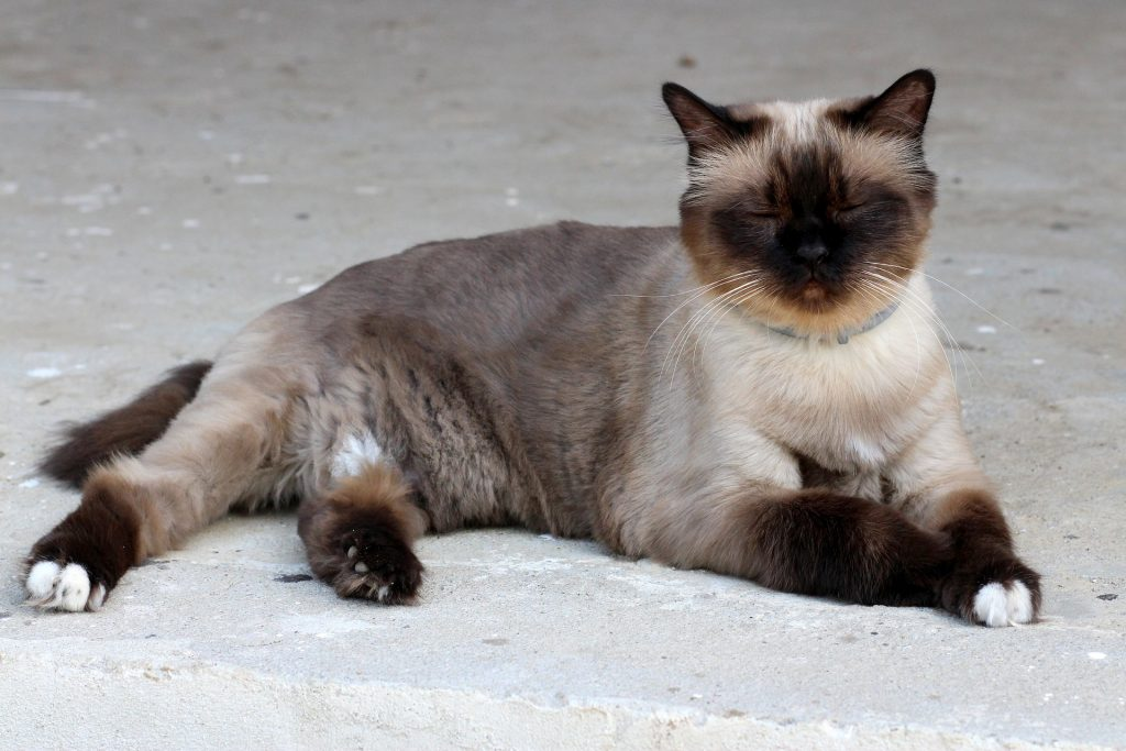 A cat with darker color pointing.