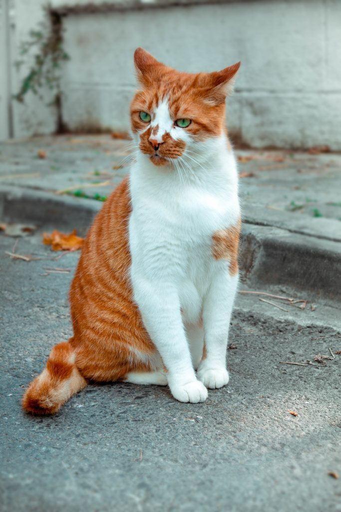 A bicolor orange tabby cat with white spotting present on his face, chest, neck, abdomen, feet, and front legs.