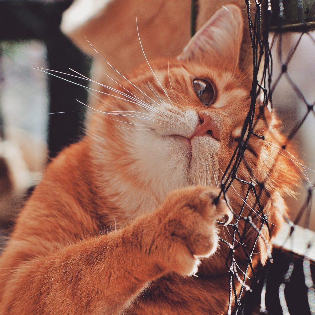 A friendly orange cat leans against a net of some sort, and holds it with his paw that has one claw extended and visible.