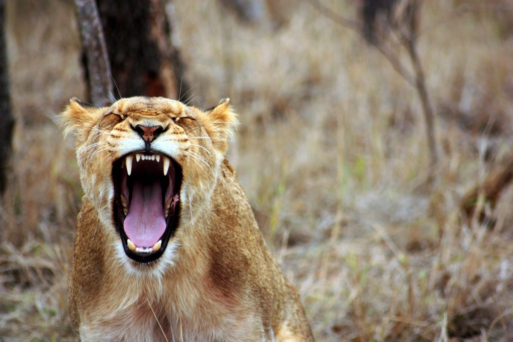 A lion shows off huge teeth with a big yawn