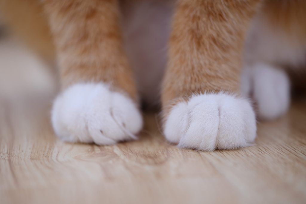 A close-up of an orange cat with cute white mittens!