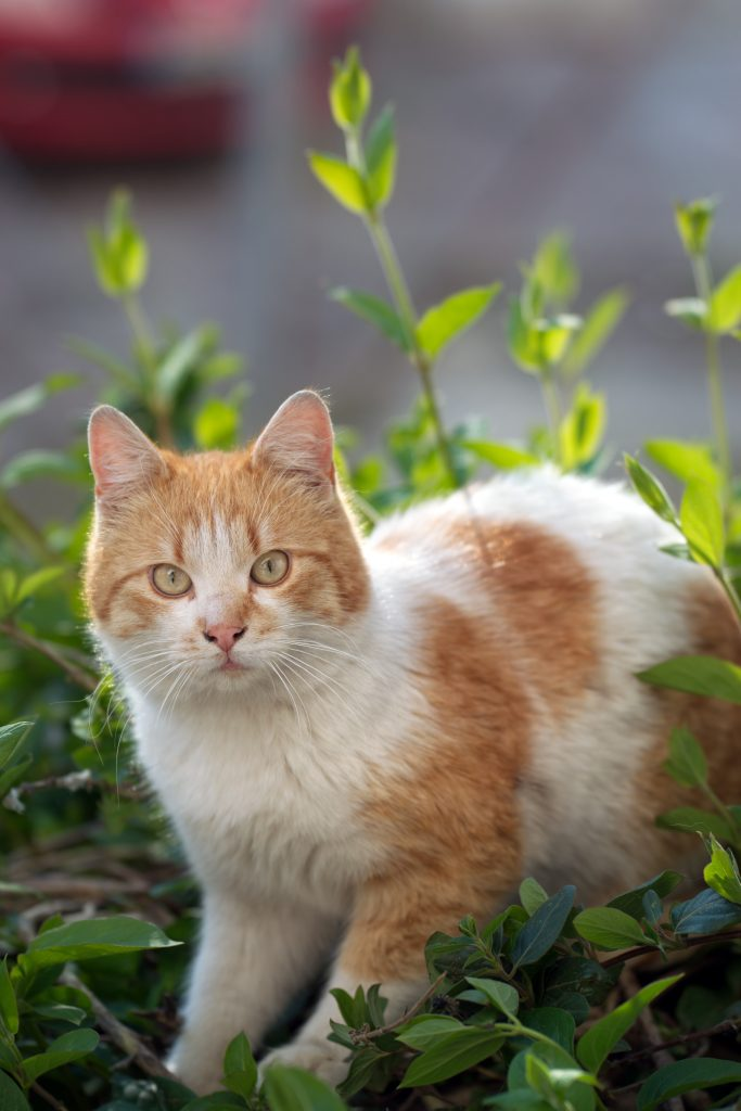 An orange tabby and white bicolor cat.