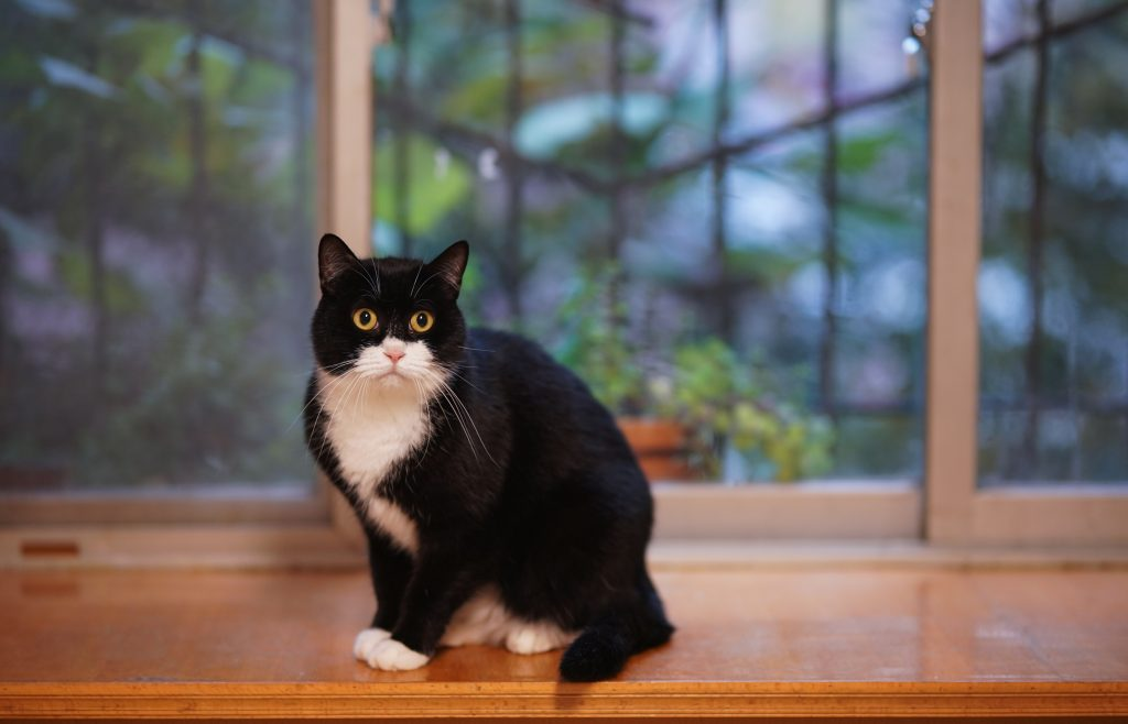 A classic tuxedo cat with striking yellow eyes.