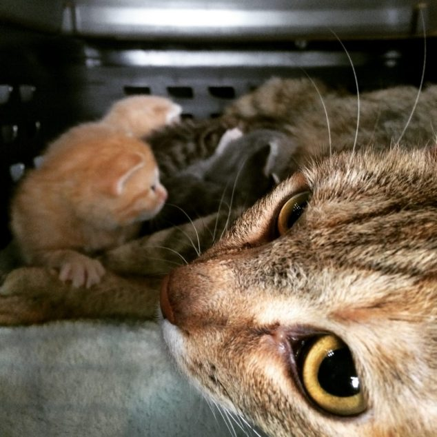 A mother cat with her young kittens who have only recently opened their eyes