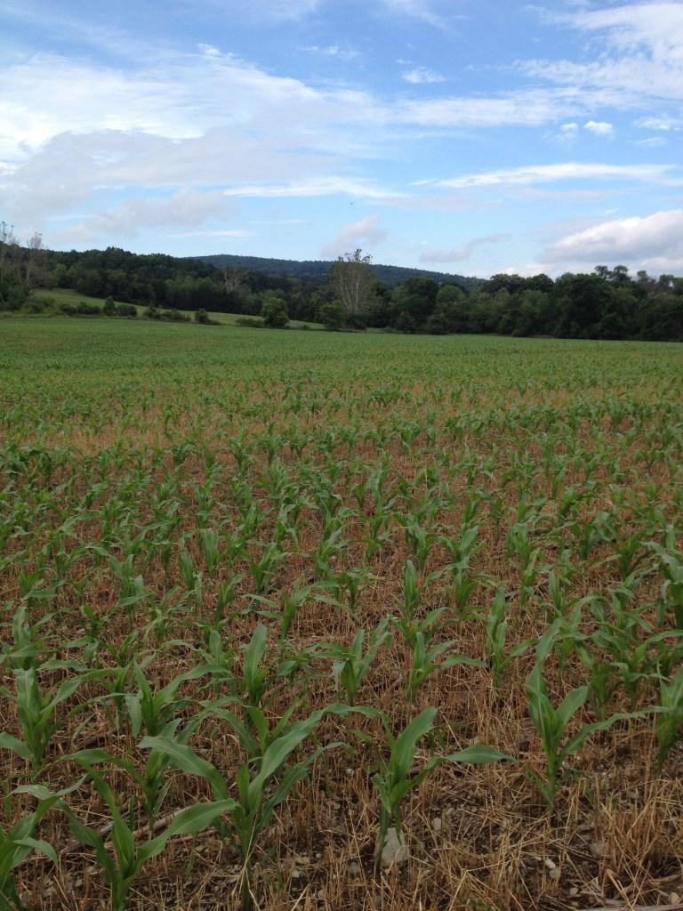 Corn just starting to grow in cornfield.