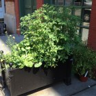 Tomatoes growing in a planter on a sidewalk in Manhattan.
