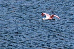 Roseate spoonbill--blurry but PINK!
