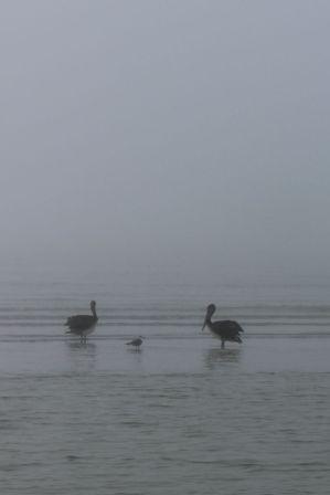 Foggy pelicans