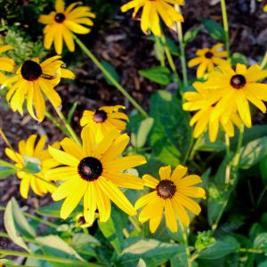 blackeyed susans-3